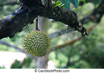 Thorny - King of fruits, the durian, growing on a tree.