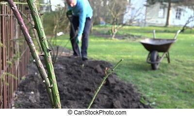Thorny rose stem gardener
