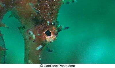 Thorny Seahorse. Close up