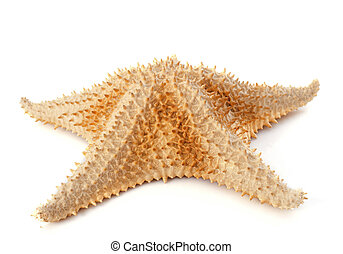 starfish - thorny starfish in front of white background