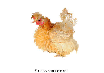 thoroughbred hen on a white background