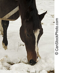 Thoroughbred horse grazing in snow