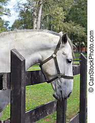 Thoroughbred horse - Thoroughbred white horse. A charming ...