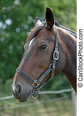 Thoroughbred Horse with Halter