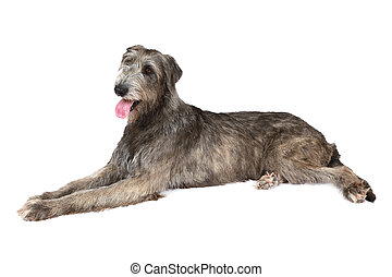 Thoroughbred Irish wolfhound