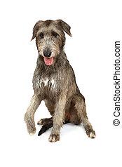 Thoroughbred Irish wolfhound on white