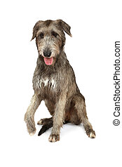 Thoroughbred Irish wolfhound on white