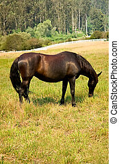 A thoroughbred brood mare grazing in a pasture