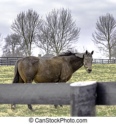 Thoroughbred mare in winter pasture - square