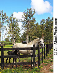 Thoroughbred white horse with a charming black colt. The rich country estate, with the special fence on green grass walk their beautiful horses