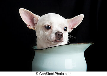 Thoughtful Chihuahua