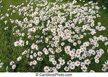 Thousands daisy