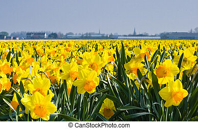 Thousands of daffodils blooming in spring sun
