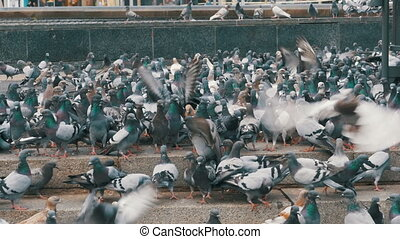 Thousands of Pigeons Crowd on Sidewalk Eating Bread -...