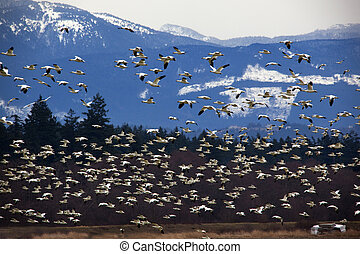 Thousands of Snow Geese Flying Across Mountain Black dots in background are not sensor spots by the black wings of snow geese in the distance