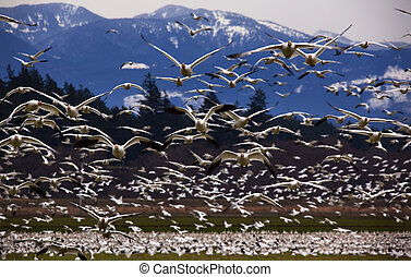 Thousands of Snow Geese Flying Directly Towards You Skagit County, Washington Snow Mountains in Background
