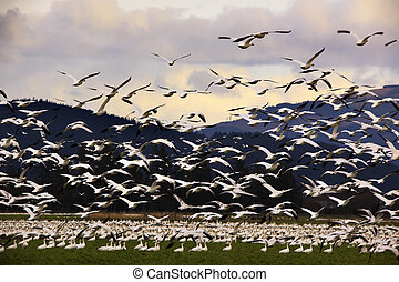 Thousands of Snow Geese Flying to Clouds