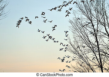Snow Geese migration flying