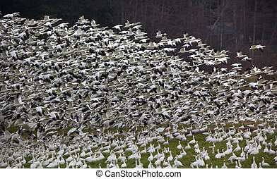 Thousands of Snow Geese Taking Off and Flying