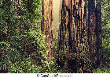 Old Redwood Trees