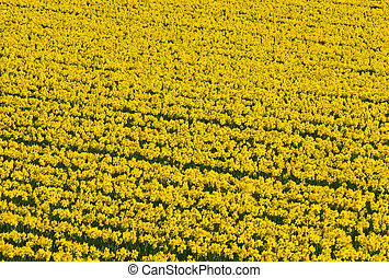 Thousands of yellow daffodils flowers in an English field.