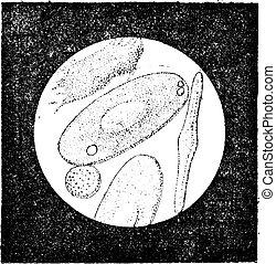 thousandths, fig., årgång, celler, groda, (55, 5., blod, millimeter), engraving.