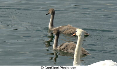 Thre long neck swan swimming on the lake a white one and two black roaming aroung the area