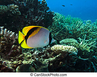 Threadfin Butterfly Fish on Coral Reef