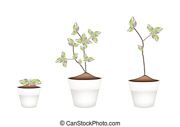 Three Acanthaceae Plants in Ceramic Flower Pots