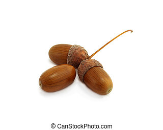 three acorns of oak isolated on white background