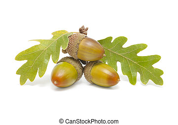 three acorns with oak leaves on white background