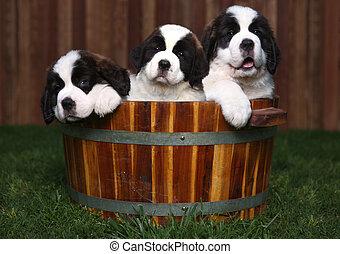Adorable Saint Bernard Puppies in a Barrel Outdoors