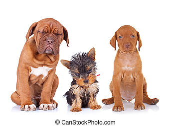 three adorable sleepy puppies sitting on white background. french mastiff, yorkshire terrier and viszla purebred dogs