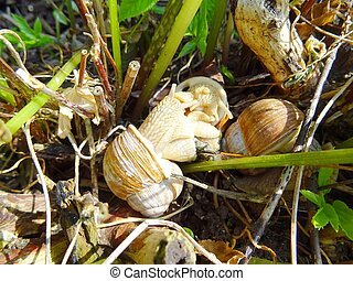 Three adult snails Helix pomatia in the garden. Also known as Roman snail, Burgundy snail, edible snail or escargot