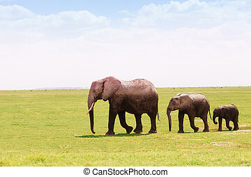 Three African elephants moving according to height - Three...