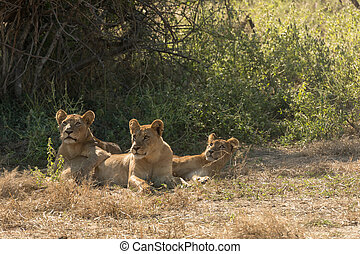 Three African Lioness under a Tree - Three African Lioness...