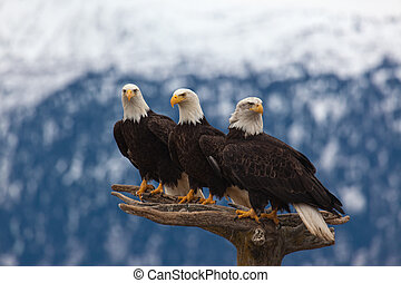 Three American Bald Eagles - A photo of 3 American Bald...