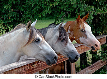 Three horses lined up against a rural ranch fence in perfect symmetry