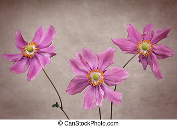 Three Anemone Flowers