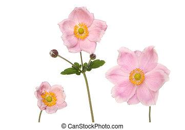 Three anemone flowers