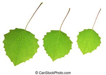 Three aspen leaves