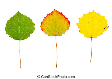 Three autumn aspen leaves on isolated