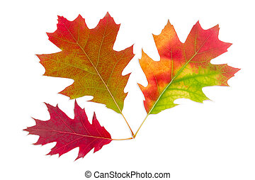 Three autumn red oak leaves on a light background