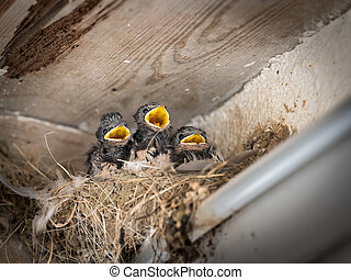 Three barn swallow chicks sitting in a nest and waiting to be fed