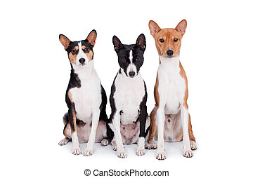Three basenjis, tricolor, black and red color coats