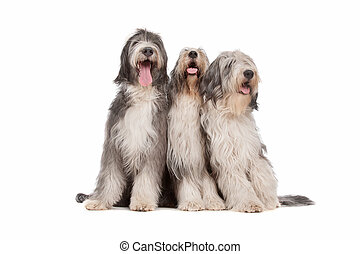 three Bearded Collie dogs