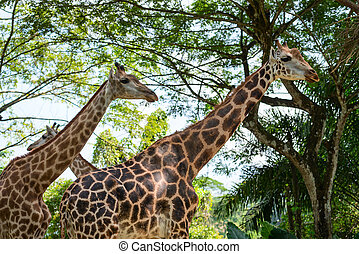 Three beautiful Giraffes showing its long neck - Two...