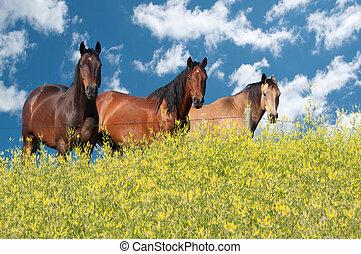 Three beautiful horses fenced away from the canola field