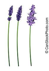 Three Beautiful Purple Lavender Flowers on White Background