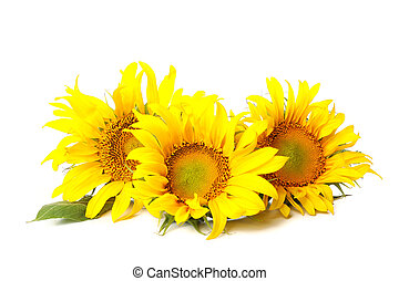 Three beautiful sunflowers isolated on white background